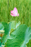 Bud of lotus in rice field Stock Photography