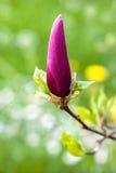 Bud of magnolia Royalty Free Stock Image