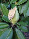 Bud of magnolia virginiana among green foliage royalty free stock photos