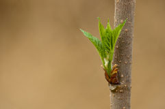 Bud of mulberry Stock Image