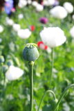 Bud of opium flower Royalty Free Stock Photos