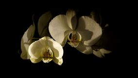 Bud of orchid opening (Phalaenopsis) stock footage