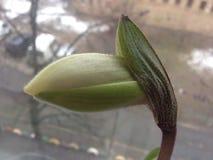 Bud Orchid Paphiopedilum fotografie stock libere da diritti