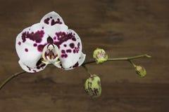 bud orchidea Zdjęcia Stock