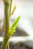 bud płaczącej willow Zdjęcia Stock