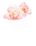 Bud of pale pink gladiolus Stock Image