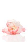 Bud of pale pink gladiolus Royalty Free Stock Image