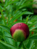 Bud of peony with an ant sitting on it Royalty Free Stock Image