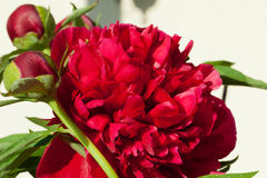 Bud of peony flowe Royalty Free Stock Photography