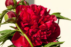 Bud of peony flower. Stock Photos