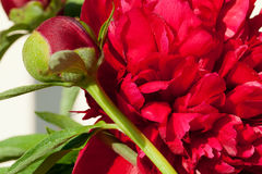 bud of peony flower Royalty Free Stock Photos