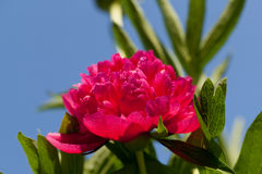 Bud of peony flower Royalty Free Stock Photography