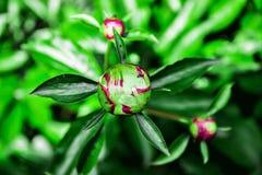 Bud peony. Unopened Bud peony in the summer garden Stock Image