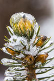 Bud of a pine frozen and covered with ice Stock Image