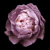 A bud of pink blossoming peony flower. Isolated flower on the black background with clipping path without shadows. For design. royalty free stock images