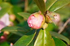 Bud of pink camellia flower Stock Photography