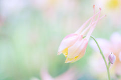 Bud pink color fancy shape. Pink Aquilegia in the stage of disclosure. Soft focus Stock Photo