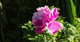 Bud of pink flower in the yard in summer.  stock footage