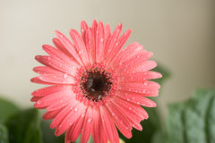 Bud of pink gerbera flower closeup. Dew and water droplets on the petals. Macro. Stock photo Stock Photography
