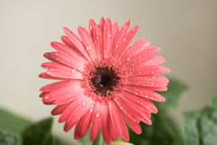 Bud of pink gerbera flower closeup. Dew and water droplets on the petals. Macro. Stock photo Stock Photo