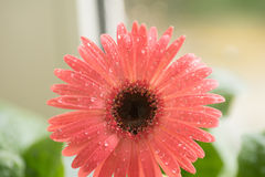 Bud of pink gerbera flower closeup. Dew and water droplets on the petals. Macro. Stock photo Royalty Free Stock Photos