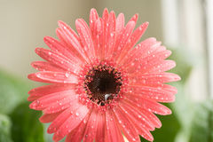 Bud of pink gerbera flower closeup. Dew and water droplets on the petals. Macro. Stock photo Royalty Free Stock Photo