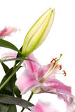 Bud of pink Lily flower Royalty Free Stock Image