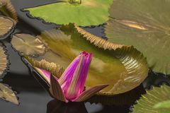 Bud of pink lotus blossoms, water plant in pond, unreal color, exotic botanical background. Tropical ,botanical nature concepts and ideas Royalty Free Stock Images