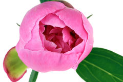 Bud of a  pink peony Royalty Free Stock Photography