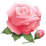 bud pink rose 免版税库存照片