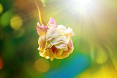The bud of a pink rose isolated with sunshine on green background. stock photo