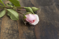 Bud of Pink Roses on a Rustic Wooden Table Stock Images