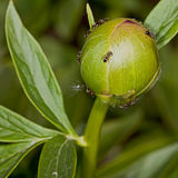 The Bud of a pion. Flower in the garden around Moscow Stock Photo