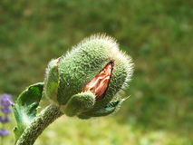 Bud of a poppy plant. A bursting flower of the poppy plant Stock Images
