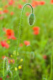 Bud of poppy Stock Photography
