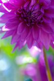 Bud purple dahlias Stock Images
