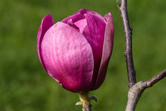 Bud of purple magnolia Royalty Free Stock Images