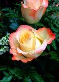 bud różową różę Obraz Royalty Free
