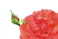 The Bud of a red decorative roses. The Bud of a red decorative roses in the summer on a white background royalty free stock image
