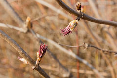 Bud red elderberry. Blossoming bud in early spring red elderberry Royalty Free Stock Photo
