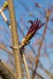 Bud red elderberry Stock Photos