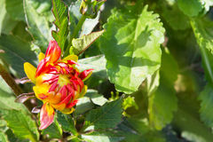 The bud of the red orange dahlia is dissolved. The bud of the red orange dahlia is blossoming against the background of its green leaves Stock Images