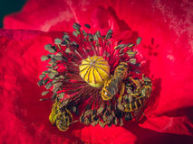 Bud red poppy and bee Royalty Free Stock Photo