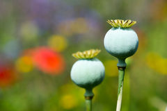 Bud and red poppy Stock Image