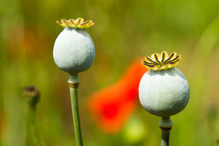 Bud and red poppy Stock Photography