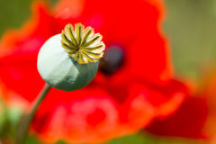 Bud and red poppy Stock Photo