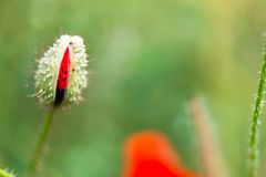 Bud and red poppy Royalty Free Stock Photography