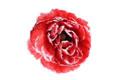 Bud red poppy Royalty Free Stock Images