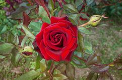 Bud red rose close-up, flower bed. Green leaves royalty free stock photos