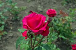 Bud red rose close-up, flower bed. Green leaves royalty free stock photo